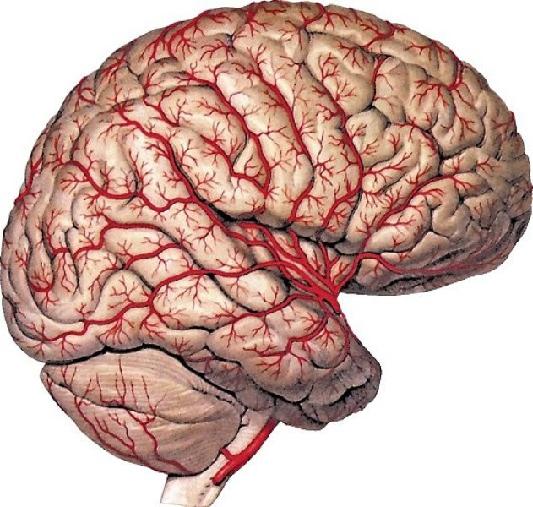 модель головного мозга.jpg