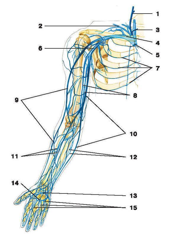 схема расположения вен верхних конечностей