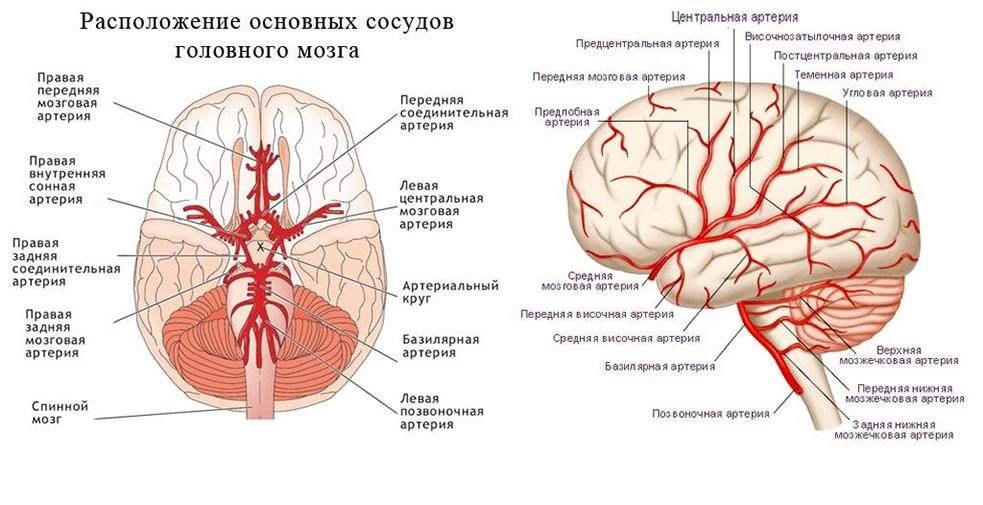 анатомическая структура сосудов