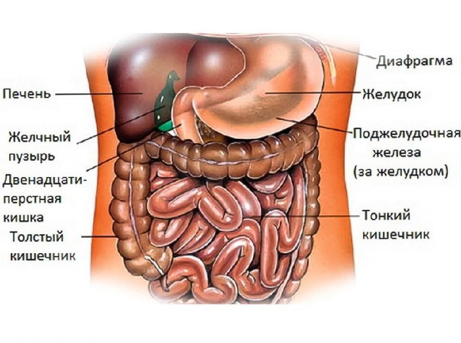 расположение органов брюшной полости.jpg