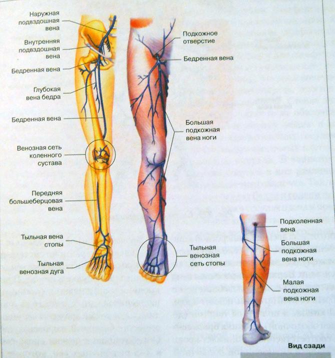 расположение вен анатомический рисунок