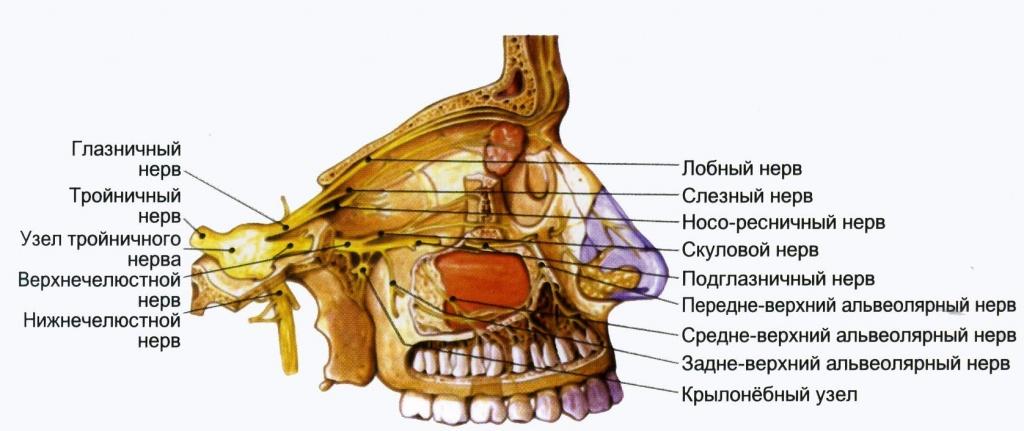 строение челюстно лицевой области