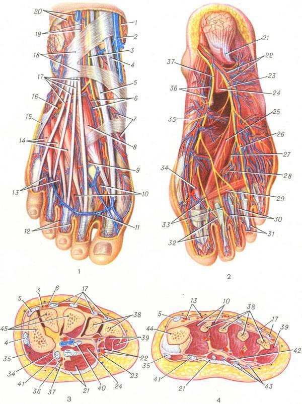 Анатомическая схема стопы